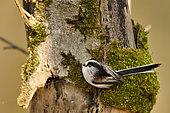 Mésange à longue queue (Aegithalos caudatus) sur un tronc dans la forêt alluviale de la Loire , en collecte de matériaux pour la nidification, France