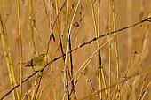 Siberian Chiffchaff (Phylloscopus collybita) in willows on the banks of the Loire in early spring, France