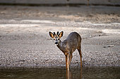 Roe deer (Capreolus capreolus) Roebuck in velvet, in an arm of the Loire, France