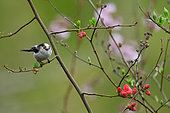 Long-tailed Tit (Aegithalos caudatus) in a flowering tree, Burgundy, France