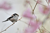 Long-tailed tit (Aegithalos caudatus) in spring against a background of cherry blossom, Burgundy, France