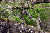 Coypu (Mysocastor fiber) and young on the bank in spring, Loire Valley, France