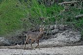 Roe deer (Capreolus capreolus) Roebuck in a dry branch of the Loire in early spring, France