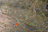 Euroeapn Robin (Erithacus rubecula) in a willow tree on the Loire in spring, Loire Valley, France