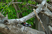 Great Spotted Woodpecker (Dendrocopos major) looking for food in dead wood along the Loire, Loire Valley, France