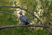Wood pigeon (Columba palumbus) on a branch in a garden, Cosne-sur-Loire, Burgundy, France