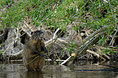 Coypu (Mysocastor fiber) male eating willow in the Loire in spring, Loire Valley, France