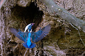 Common Kingfisher (Alcedo atthis) retrieving a fish from its burrowed nest in the bank, Loire Valley, France