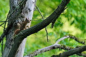 Red squirrel (Sciurus vulgaris) on a branch in the alluvial forest of the Loire in spring, Loire Valley, France
