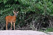 Roe deer (Capreolus capreolus) Roebuck surprided in an arm of the Loire, France