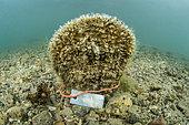 Grande nacre (Pinna nobilis) sub-adulte, marquée dans l'étang de Diana (Aléria, Haute-Corse). Espèce classée en danger critique d'extinction suite à l'épizootie (liée à un parasite Haplosporidium) qui touche depuis 2016 tout le pourtour méditerranéen.