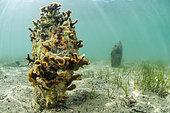 Bryozoaire (Schizoporella errata) colonisant une coquille de grande nacre morte, dans l'étang de Diana, Aléria, Haute-Corse.
