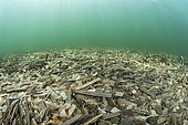 Litter of dead posidonia leaves accumulated on the bottom of the Balistra pond, southern Corsica. Source of organic matter that can be transmitted to the entire coastal food chain.