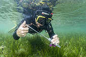 Researcher from the Institut Océanographique Paul Ricard inserting a tissue sample from a large Pen Shelll (Pinna nobilis) into a test tube in the Diana pond (Aléria, Haute-Corse). The Pen shell is a species classified as critically endangered following the epizootic (linked to a Haplosporidium parasite) which has affected the entire Mediterranean region since 2016.