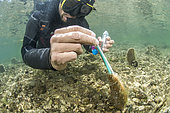 Researcher from the Institut Océanographique Paul Ricard taking a DNA sample from a large Pen Shell (Pinna nobilis), using a felt swab, for genetic studies. Diana pond (Aléria, Haute-Corse). The Pen Shell is a species classified as critically endangered following the epizootic (linked to a Haplosporidium parasite) which has affected the entire Mediterranean region since 2016.