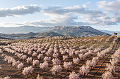 Cultivated almond trees (Prunus dulcis) in full blossom in February. Aerial view. Drone shot. Almería province, Andalusia, Spain.