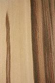 Longitudinal section of American Sweetgum (Liquidambar styraciflua), synonyme : Redgum, SouthEast USA