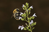 Common carder beex (Bombus pascuorum) on a flower of Calamint (Clinopodium nepeta), France