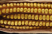 Maize (Zea mays) seeds not filled due to water stress during growth in 2020, Oise, France