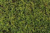 Chalk Comb-moss (Ctenidium molluscum) moss on limestone rock, Coye Forest, Ile-de-France, France