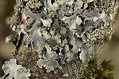 Hammered shield lichen (Parmelia sulcata) Foliose lichen on dead branch, Coye Forest, Ile-de-France, France
