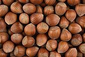 Loose hazelnut, fruits of the hazelnut tree (Corylus avellana) stripped of their involucre, Lot-et-Garonne, France