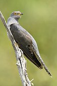 Common Cuckoo (Cuculus canorus) on a branch, France