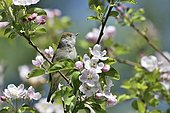 Blackcap (Sylvia atricapilla) posed on a branch of Cherry tree in bloom, France