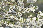 Pied Flycatcher (Ficedula hypoleuca) male on a branch of flowering apple tree France