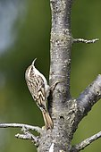 Treecreeper (Certhia brachydactyla) on a branch, France