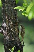 Treecreeper (Certhia brachydactyla) on a trunk, France