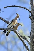 Hoopoes (Upupa epops) mating on a branch, France