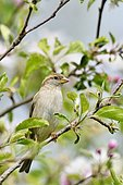 House sparrow (Passer domesticus) on a branch, France