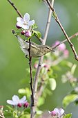 Willow Warbler (Phylloscopus trochilus) on a flowering apple tree branch, France