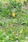 European Serin (Serinus serinus) feeding on the ground on small seeds of wild herbs, France