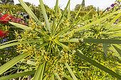 Cyperus alternifolius 'du Niger'