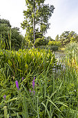 Typha latifolia, Lythrum salicaria 'Rosy Gem, Sagittaria sagittifolia, Jardin aquatique, Ecole du Breuil, Paris, France