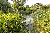 Typha latifolia, Sagittaria sagittifolia, Jardin aquatique, Ecole du Breuil, Paris, France
