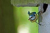 Mésange bleue (Cyanistes caeruleus) à l'entrée du nid, avec une araignée dans le bec pour ses jeunes