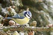Blue Tit (Cyanistes coeruleus) on a pine branch, Bad Sooden-Allendorf, Hesse, Germany, Europe