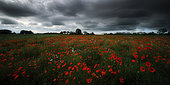 Poppy (Papaver rhoeas) fields before the storm, Manche, Normandy, France