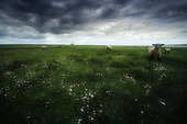 Sheep in the Salt Meadows in the Bay of Mont-Saint-Michel, Normandy, France