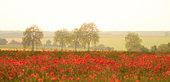 Poppy (Papaver rhoeas) field in flower, Yonne, Burgundy, France