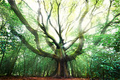 Traveller's tree in the heart of the Broceliande forest, Brittany, France