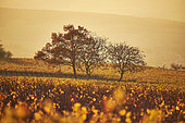 Autumn in the vineyards, Yonne, Burgundy, France