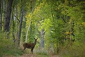 Red deer (Cervus elaphus), doe in the woods, Yonne, Burgundy, France