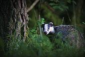 Eurasian Badger (Meles meles) in undergrowth, Yonne, Burgundy, France