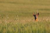 RoeDeer (Capreolus capreolus) portrait of a male in tall grass, Yonne, Burgundy, France