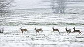 RoeDeer (Capreolus capreolus), group fleeing in a snowy field, Yonne, Burgundy, France
