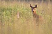 RoeDeer (Capreolus capreolus) female in tall grass, Yonne, Burgundy, France